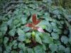 タブノキの新芽