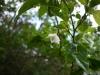 (3/2)高知山にてエゴノキの花