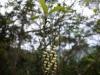 (3/8)ナンバンギブシの花
