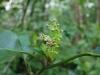 (3/14)ナンゴクアオキの花