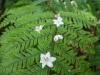 (3/22)エゴノキの花