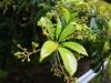 (3/4)タブノキの新芽と花