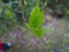 (3/4)リュウキュウハナイカダの雌花のつぼみ