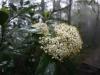(3/4)リュウキュウミヤマシキミの雄花
