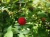 (4/16)リュウキュウバライチゴの実