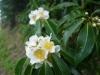 (5/16)イジュの花