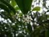 (5/25)サカキの花