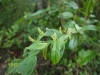 (5/29)ヤマヒハツの花