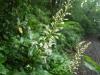 (5/29)アオノクマタケランの花