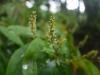 (5/31)ヤマヒハツの花