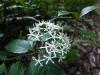 (6/4)ギョクシンカの花