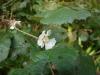 (3/18)ホウロクイチゴの花