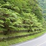 奄美市朝戸から新和瀬トンネルへ続く国道沿いに自生するヒカゲヘゴ