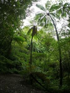 金作原原生林のヒカゲヘゴ(フィッシュアイ)