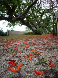 デイゴの花の絨毯