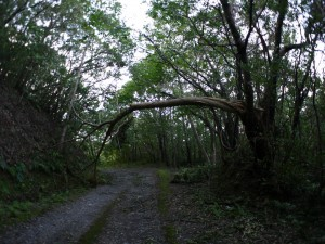 倒木のアーチ