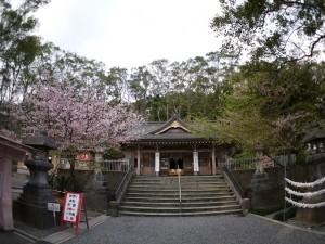 高千穂神社のアマミザクラ