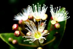 アデクの花のアップ