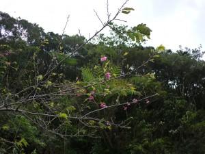 フナンギョの滝手前のヒカンザクラ