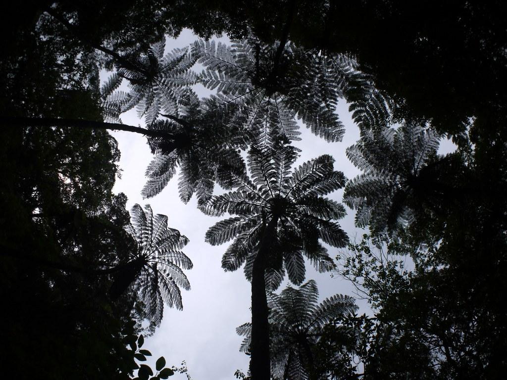 ヒカゲヘゴの画像 p1_35