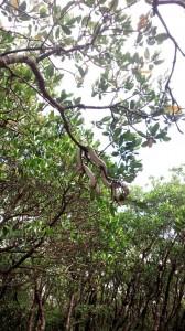 マングローブ樹上のハブ