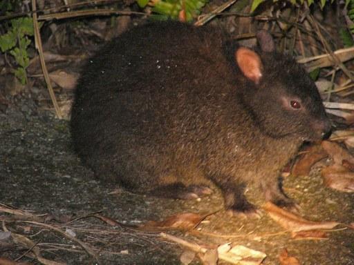 アマミノクロウサギの画像 p1_5