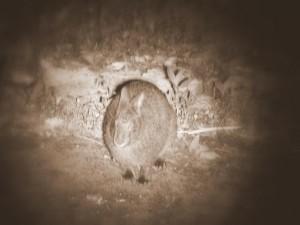 アマミノクロウサギ(画像処理済)