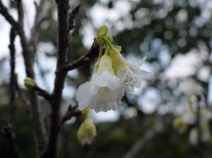 白花ヒカンザクラ