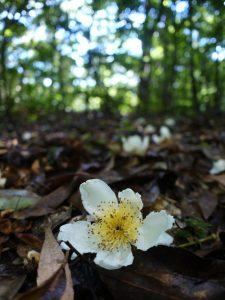 林床のイジュ