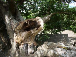 折れたデイゴの枝