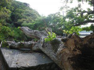 折れた枝から新しい苗木