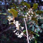 ツルグミの花