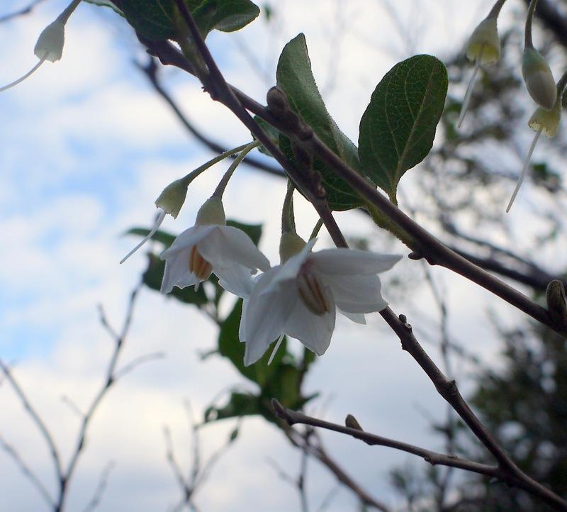 加計呂麻島ではエゴノキが咲いてました
