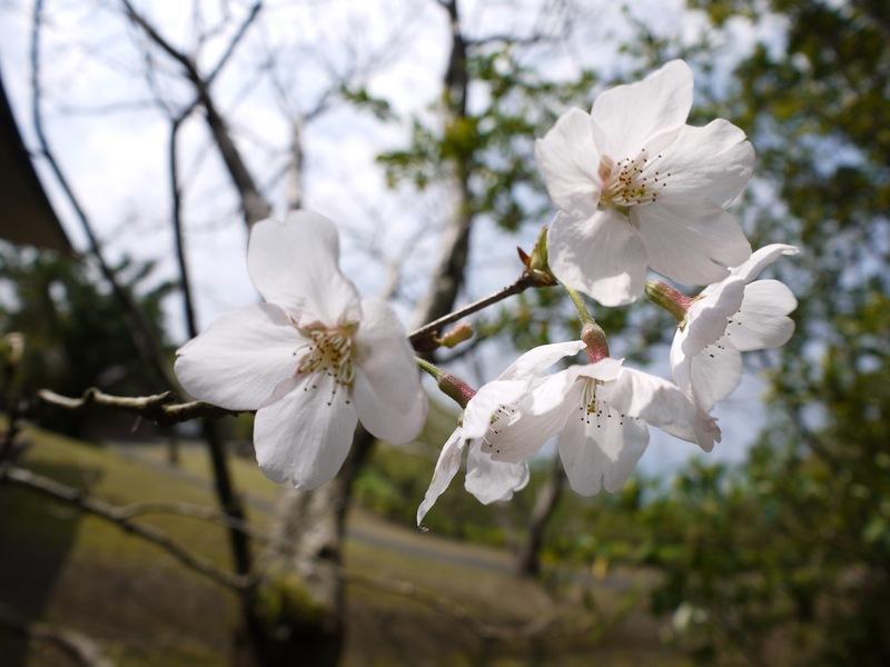 湯湾岳(宇検村側7合目)のソメイヨシノが咲き始めてます