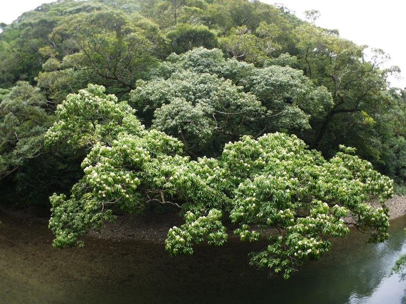 役勝川のイジュの木