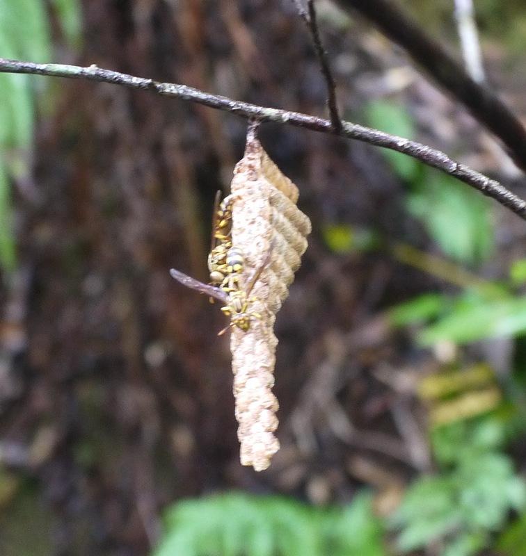 アシナガバチに注意