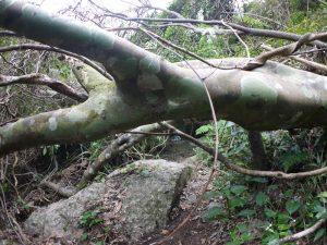 モダマの森の倒木