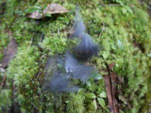 コケの上に落ちていたアマミノクロウサギの毛