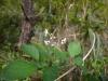 (3/18)オオシマウツギの花